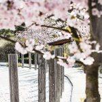 cherry-blossom-at-yasuragi